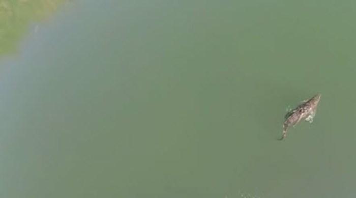 Kreta in rep en roer door krokodil in stuwmeer