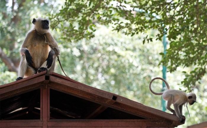 Mensen verkleden zich als apen tegen apenplaag in New Delhi