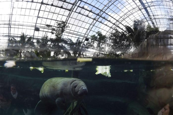 Met uitsterven bedreigde zeekoe verdronken in Parijse zoo