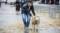 Discussie over onverdoofd slachten overschaduwt Offerfeest in Vilvoorde