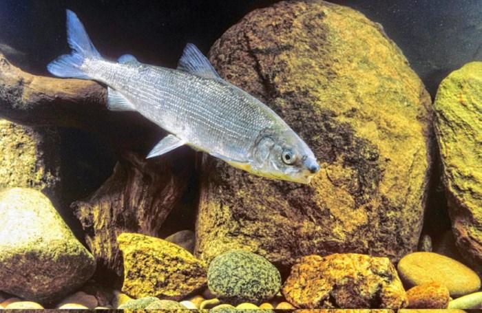 'Uitgestorven' vis duikt na 100 jaar plots weer op in Schelde