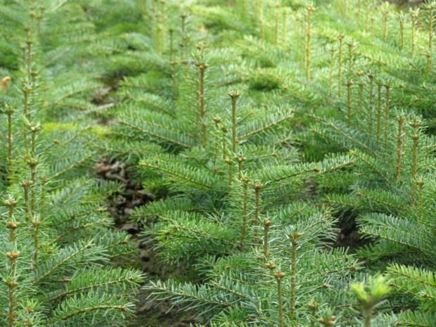 Kleine kerstbomen dit jaar 10 procent goedkoper