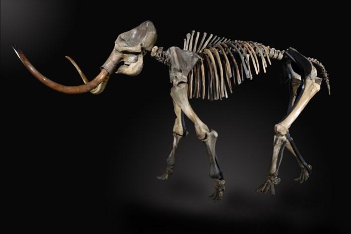 Skelet van mammoet Monty geveild voor 238.000 euro