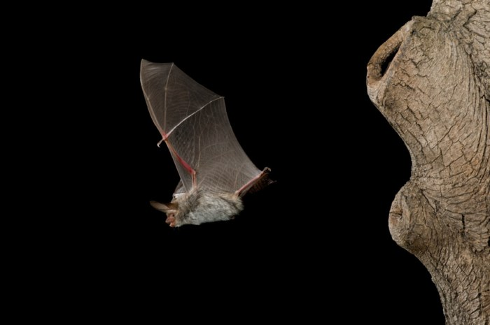 Vleermuizen eisen hoofdrol op in Fort 4