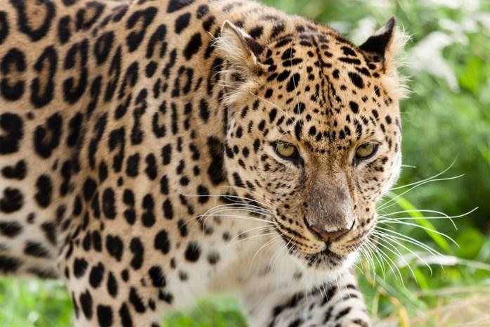 Zambia laat leeuwen- en luipaardenjacht opnieuw toe