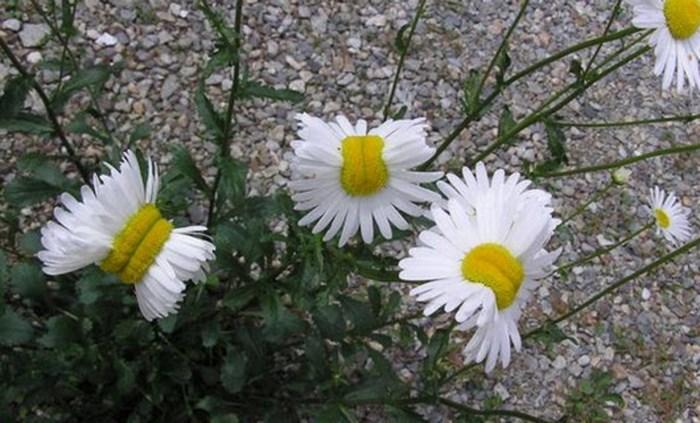 Kernramp in Fukushima doet bloemen muteren