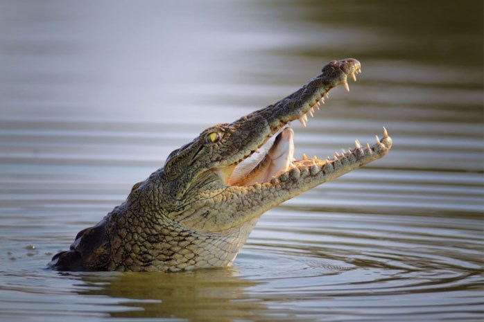 Olie van krokodillen is goed voor je huid
