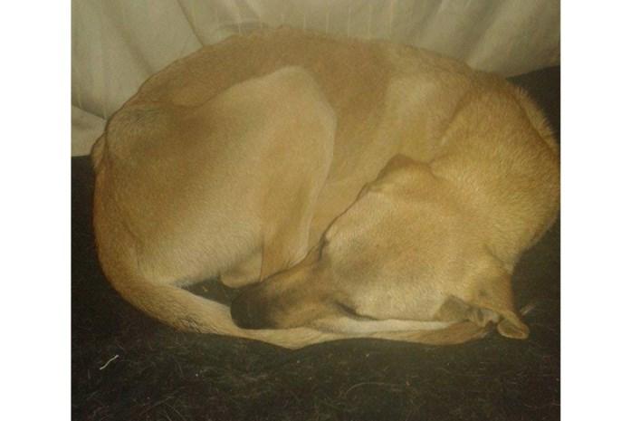Vermiste hond na ruim twee maanden teruggevonden in maïs