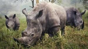 Zuid-Afrikaanse rechter legaliseert binnenlandse handel in hoorns van neushoorns
