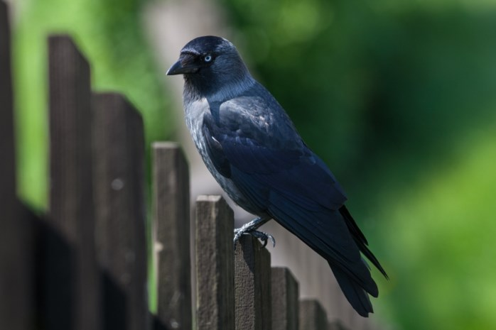 Kauw blijft meest getelde vogel op Vlaamse speelplaatsen