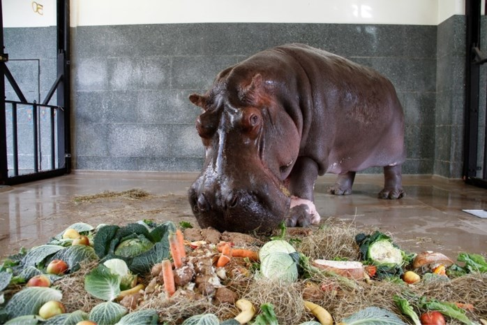 Zoo moet afscheid nemen van nijlpaard Heini