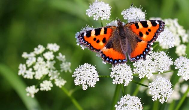 Vlinderweekend in bib en Lerenveld