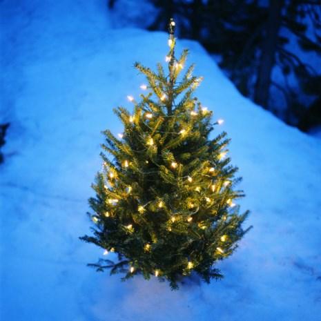 Volak verkoopt opnieuw kerstbomen