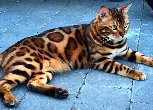 Kat met prachtige 'luipaardvacht' is de koning van Instagram