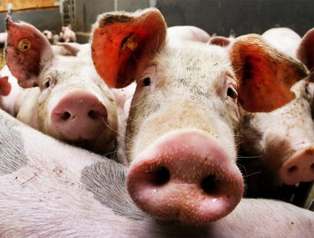 Honderden varkens sterven door zuurstoftekort