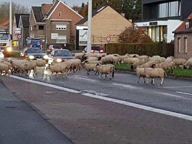 Kudde schapen blokkeert drukke steenweg in volle ochtendspits