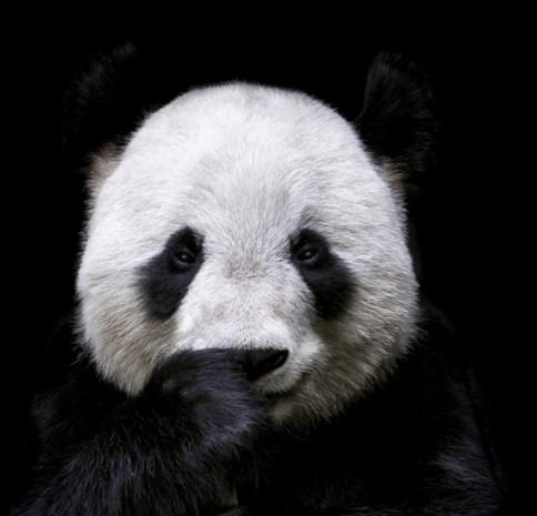 Waarom is een panda wit-zwart?