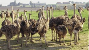 Kippen, duiven en struisvogels mogen van minister weer buiten komen