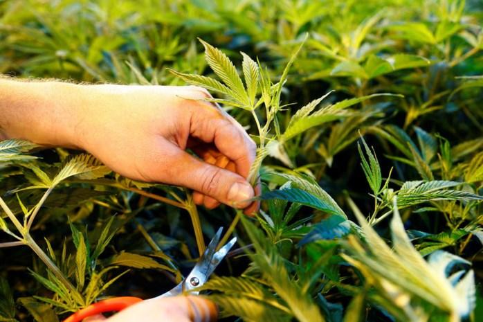 Man opgepakt die cannabisplantage wil opbouwen