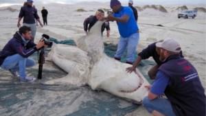 """Orka's slachten grote witte haaien af: """"Dit hebben we nog nooit gezien"""""""