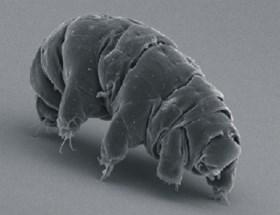 Niet de kakkerlak, maar wel de 'waterbeer' zal het laatste levende wezen op aarde zijn