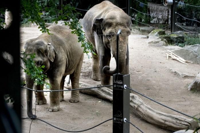 """Nieuwe olifanten in dierentuin vinden het wonderwel met elkaar: """"Er is geregeld slurfcontact"""""""