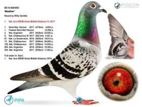 Kesselaar verkoopt duurste duif ooit voor waanzinnig bedrag