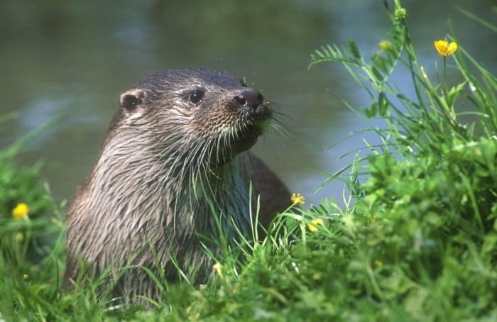 Goed nieuws: de otter is na 30 jaar terug in Vlaanderen