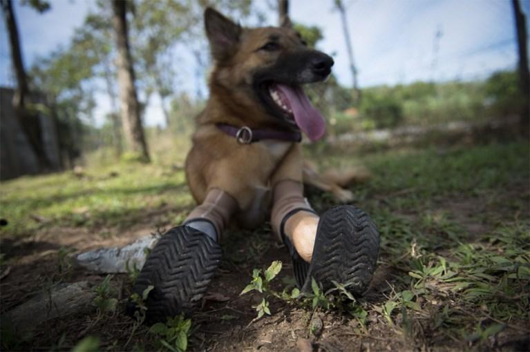 Een dierenbeul hakte zijn voorpoten af, maar dankzij deze protheses kan Cola weer normaal rondlopen