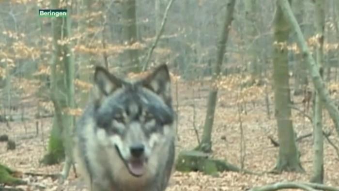 Wie wolven in polder kon vangen, kreeg geld