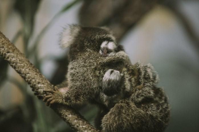 Olmense Zoo verwelkomt tweeling penseelooraapjes