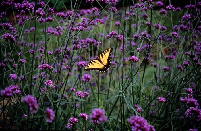 Deze planten in je tuin zijn een feest voor vlinders