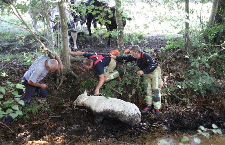 Brandweer redt kalf dat helemaal dreigt weg te zakken in de modder