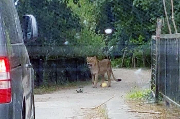 Intern onderzoek Planckendael bevestigt: menselijke fout aan basis van ontsnapping leeuwin Rani
