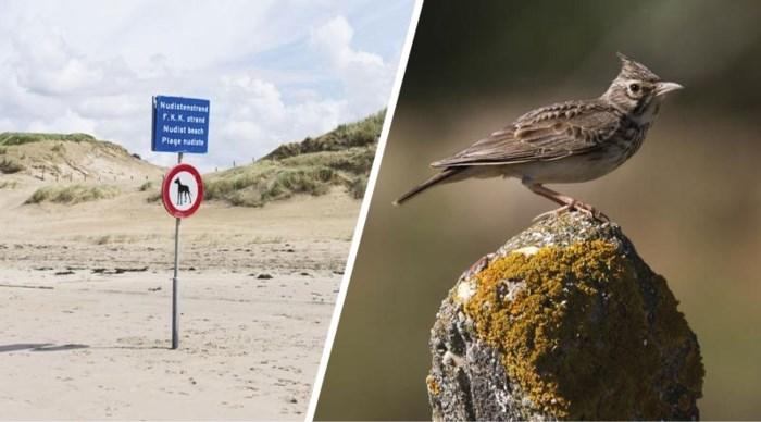 Zeldzaam vogeltje verhindert tweede naaktstrand aan Belgische kust