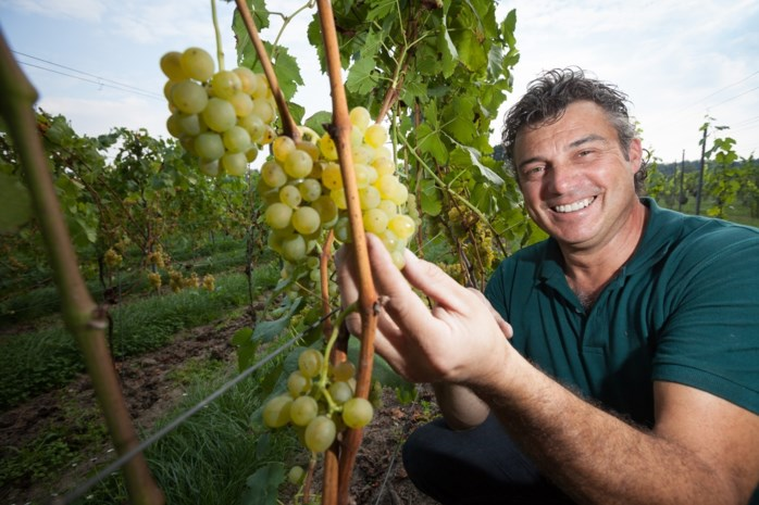 """Wijnbouwers zijn in de wolken: """"Droogte zorgt voor fantastische druiven"""""""