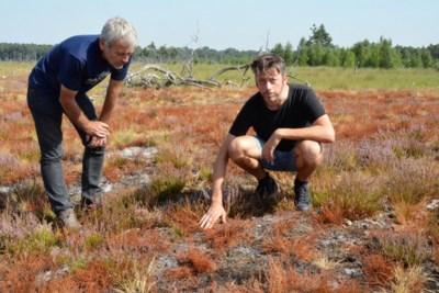"""Kalmthoutse Heide heeft geen baat bij verfrissende regenval: """"We zien de heide meer en meer afsterven"""""""