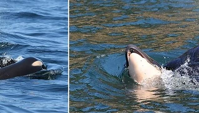 Moeder laat overleden orka-kalfje na 17 (!) dagen rouwen eindelijk achter