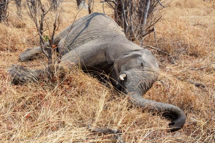 Stropers slachten 87 olifanten in Botswana om hun ivoren slagtanden te kunnen verkopen