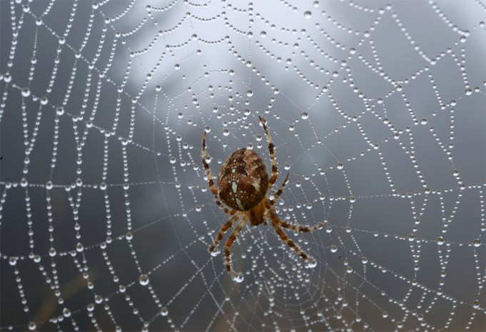 Geheim van superkrachtige spindraad eindelijk ontrafeld?
