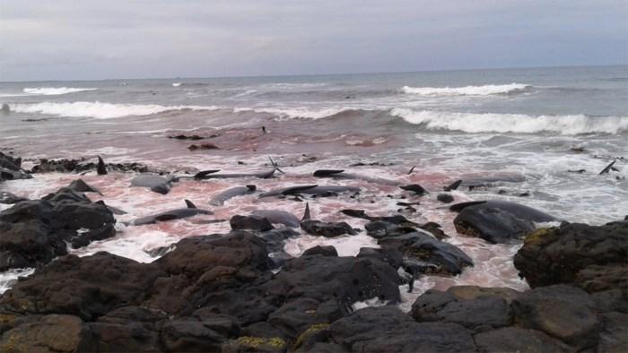 Warmere oceaan mogelijk oorzaak van massaal aanspoelen van walvissen in Nieuw-Zeeland
