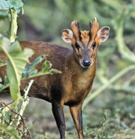 Boswachters worden stropers: verboden hertjes gekweekt, afgeschoten en vlees verkocht