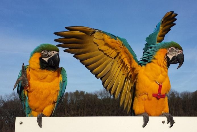 """Jager schiet papegaai Rambo neer in Westmalle: """"Daarna hebben zijn honden hem verscheurd"""""""