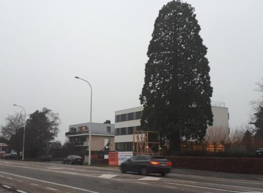 """Experts: """"Sequoia op N70 moest nog niet worden gekapt"""""""