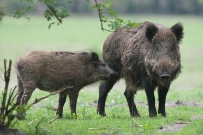 200.000 zwijnen afmaken vanwege varkenspest? Poolse jagers aarzelen
