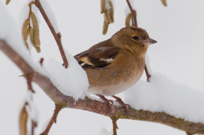 Winterprik lokt vinken naar tuin tijdens vogeltelweekend, kauw vaakst gezien in provincie Antwerpen