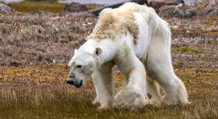 """Noodtoestand uitgeroepen na invasie van ijsberen: """"Mensen zijn bang om hun huizen te verlaten"""""""
