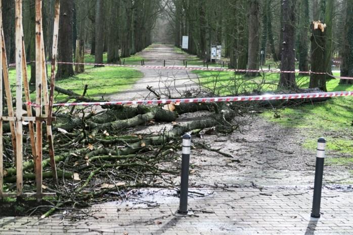 Oude kastanjeboom omgevallen in Wijnegem