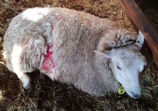 Sloegen wolven opnieuw toe: onderzoek naar vier dode schapen in Kerkhoven