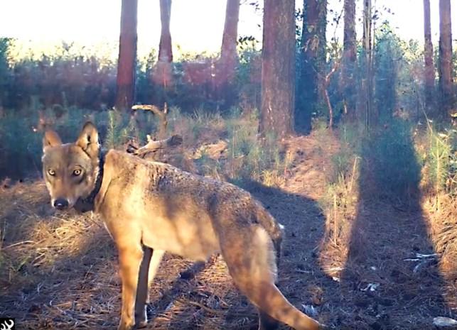 Bloedspoor in heide is niet van wolven Naya of August, maar van everzwijn